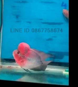 ขายปลาหมอสีราคาถูก