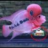 การเปลี่ยนถ่ายน้ำปลาหมอสี