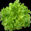 เมล็ดกรีนโอ๊ก (Green Oak) แบบเคลือบ จำนวน 100 เมล็ด