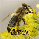 เรื่อง...ผึ้งกับต่อ