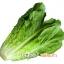 ผักกาดแก้ว Lettuce thumbnail 1