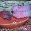 อาหารบำรุงพ่อแม่พันธุ์ปลาหมอสี สำหรับนักบรีด thumbnail 2