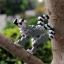 Ring-Tailed Lemur thumbnail 1