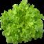 เมล็ดกรีนโอ๊ค (Green Oak) แบบเคลือบ จำนวน 50 เมล็ด thumbnail 1