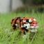 Bengal Tiger thumbnail 1